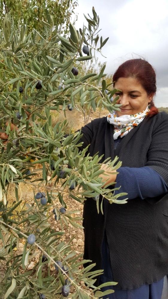 Kilis zeytinyağına İtalya'da altın madalya
