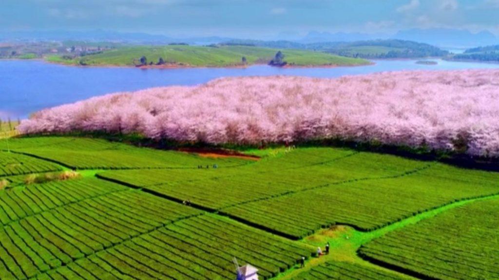 Çin'de harika kiraz ağacı manzarası