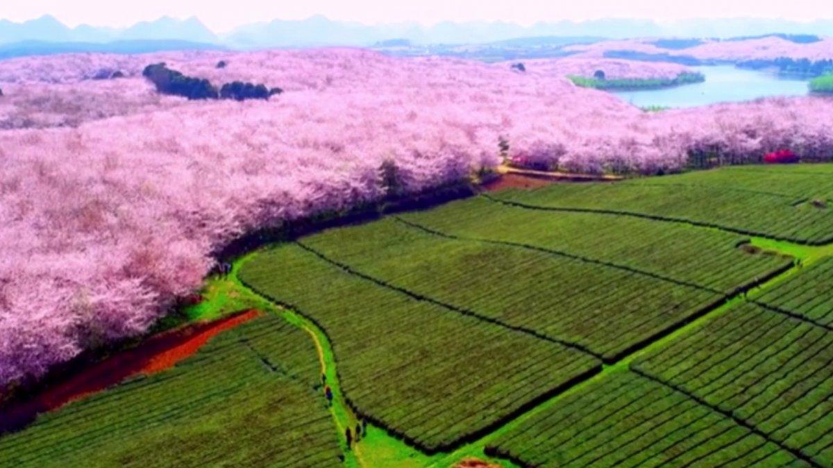 Çin de harika kiraz ağacı manzarası #2