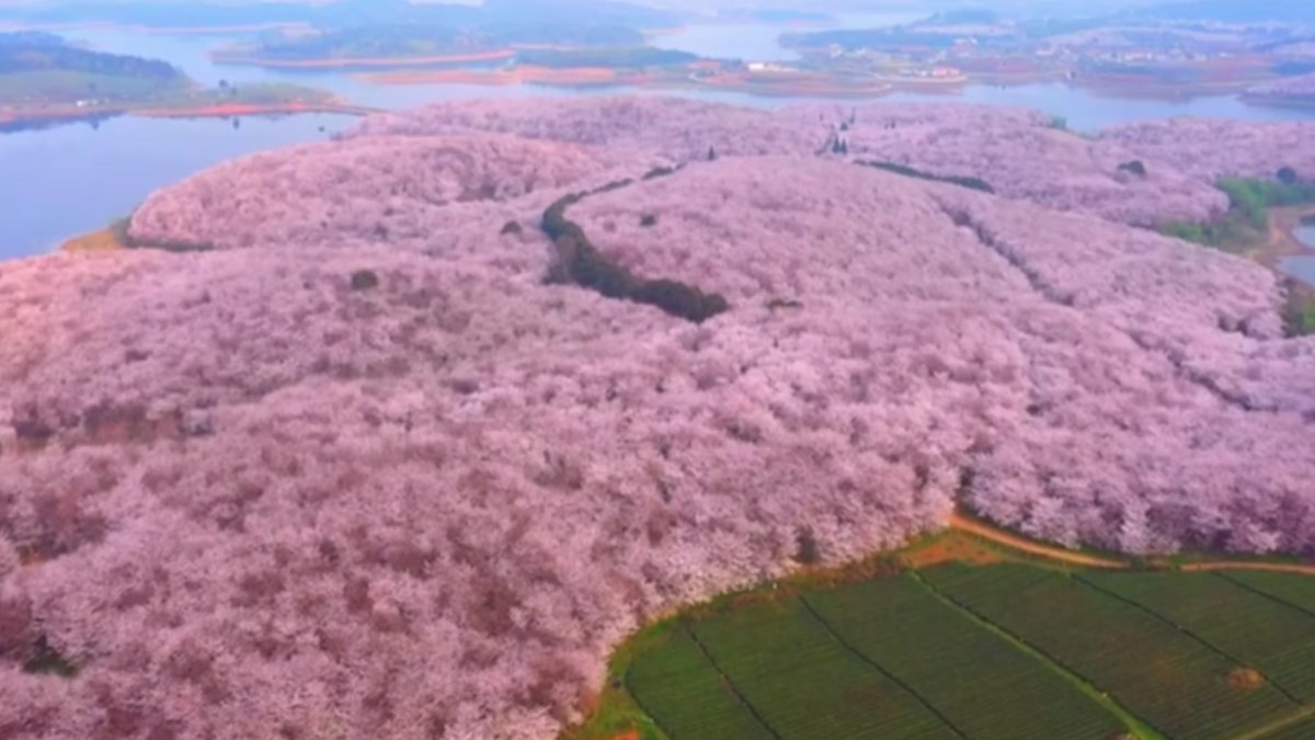 Çin de harika kiraz ağacı manzarası #3