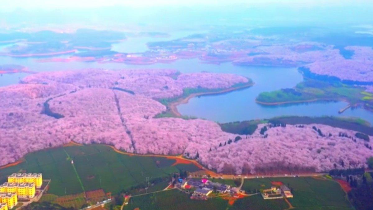 Çin de harika kiraz ağacı manzarası #4