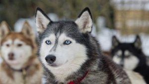 Sibirya Kurdu (Husky)